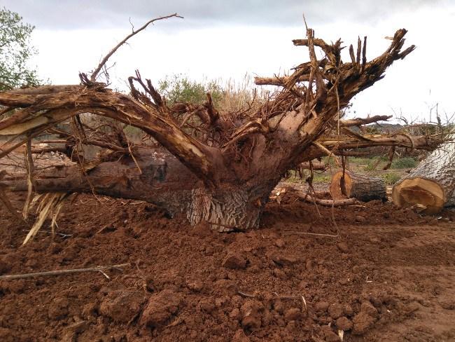 limpieza tronco arbol