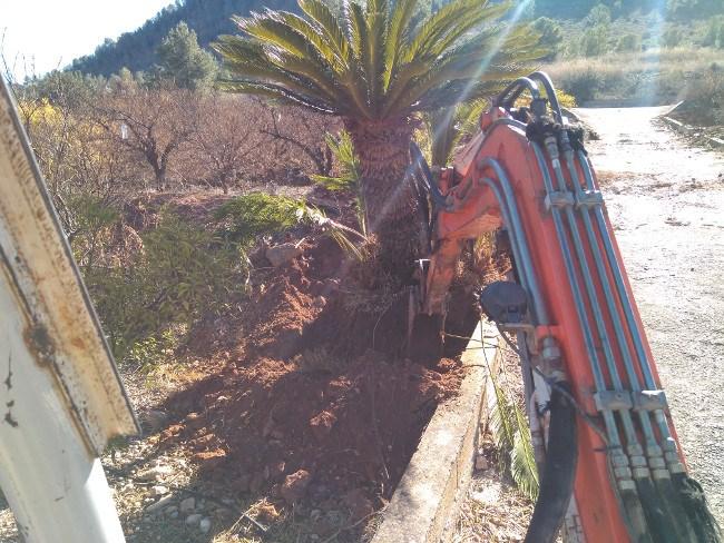 trasplante palmeras